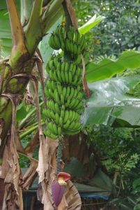 Huge banana trees in our graden on madagascar