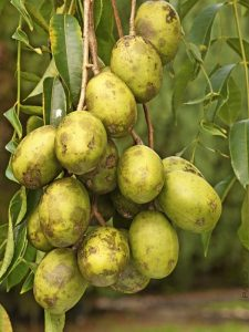 June plum or amarella fruit Madagascar