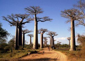 De Allée des baobabs (Avenue of the Baobabs) Morondava, Madagascar
