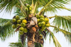 coconut tree Madagascar