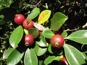 Strawberry apple Madagascar