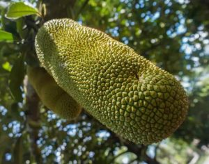 Delicious Jackfruit hanging in the trees on madagascar