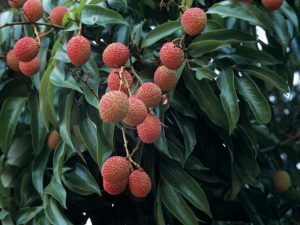 Lychees of Madagascar