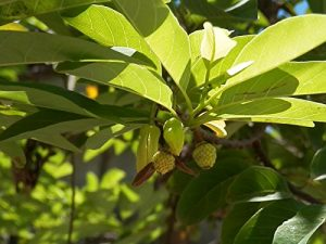 Sweet custart apple, sugar-apple or sweetsop on Madagascar